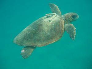 Deniz kaplumbağaları GPS ile takip edilecek.